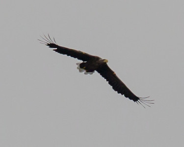 White Tailed Sea Eagle - taken in low light with the Eagle at some considerable distance!