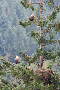 Sea Eagles Fingle and Iona by their nest. To put this into perspective, the nest measures around 6 feet across. An adult Sea Eagle measures about 1.5 meters from head to tail!