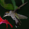 My Backyard Hummingbirds : These are a few of my favorite photos. I started out over 2 years ago trying to learn how to perfectly capture these beautiful birds. I would search the internet for information from other photographers. Looked at their photos and read up on their setups. Finally the past summer I was able to get the detail in the photographs that I took. 