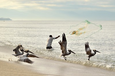 brown pelicans (Pelecanus occidentalis)