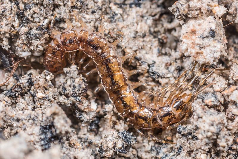 Stone centipede (Order Lithobiomorpha). Lake Poteriteri, Fiordland National Park.