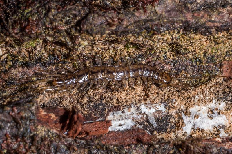 Stone centipede, order Lithobiomorpha. Sandy Bay, Lake Waikareiti, Te Urewera National Park.