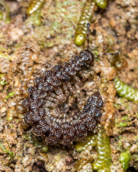 Flat-backed millipede (Pacificosoma spp.). Kakapo Hill, Fiordland National Park.