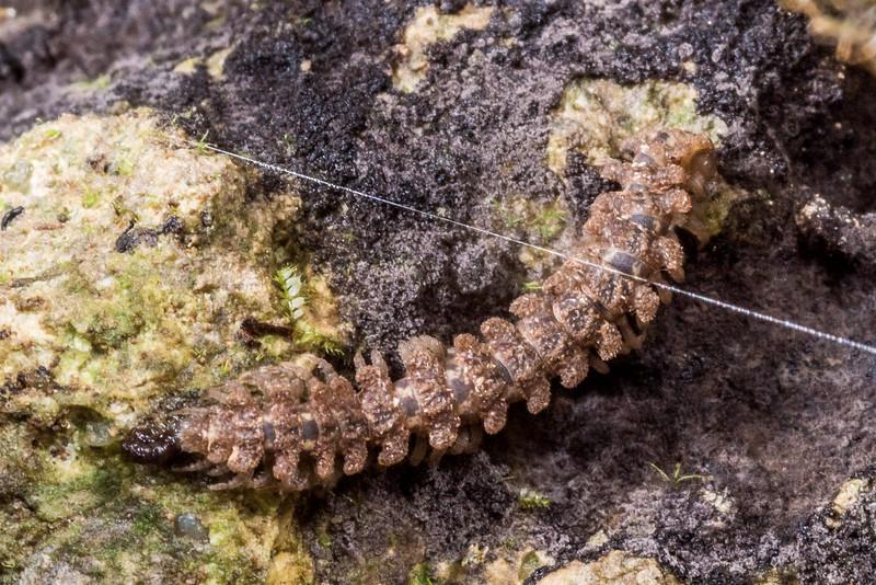Flat-backed millipede (Tongodesmus spp.). Gouland Downs Caves, Heaphy Track, Kahurangi National Park.