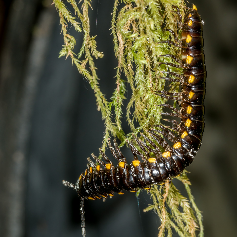Yellow-spotted millipede (Harpaphe haydeniana). Silver Falls Trail, Mount Rainier National Park