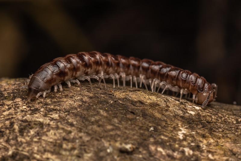 Flat-backed millipede (Order Polydesmida). Driving Creek Ecosanctuary, Coromandel.