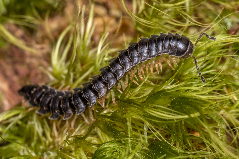 Flat-backed millipede (Order Polydesmida). Richmond Saddle. Richmond Range, Marlborough.