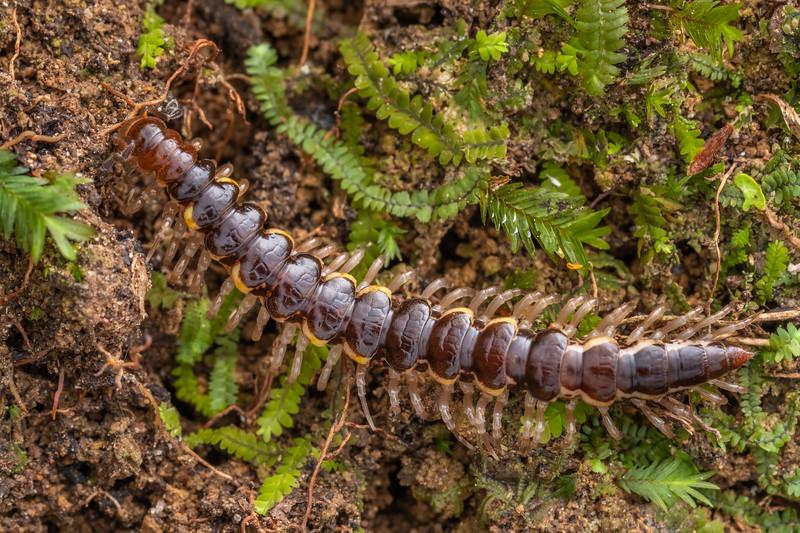 Flat-backed millipede (Order Polydesmida). Bridge to Nowhere, Whanganui National Park.