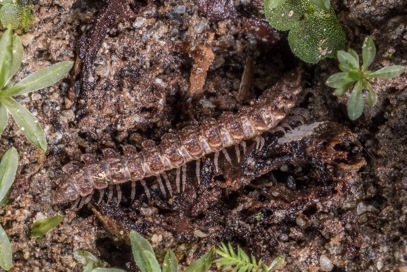 Flat-backed millipede (Order Polydesmida). Lewis Pass.