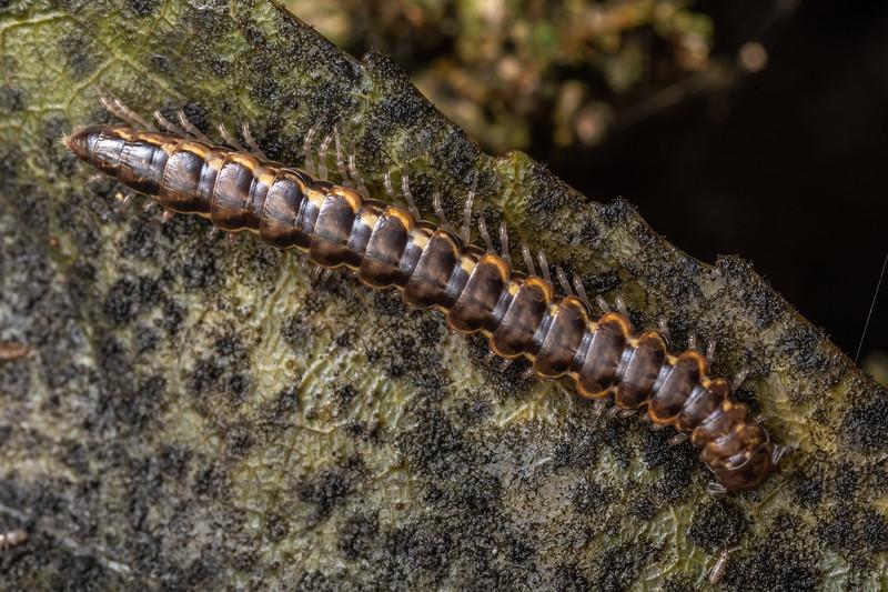 Flat-backed millipede (Order Polydesmida). Hinau Track, Kaikōura.