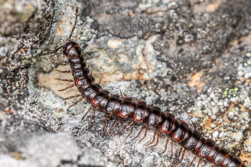 Flat-backed millipede (Order Polydesmida). Mount Richmond. Richmond Range, Marlborough.