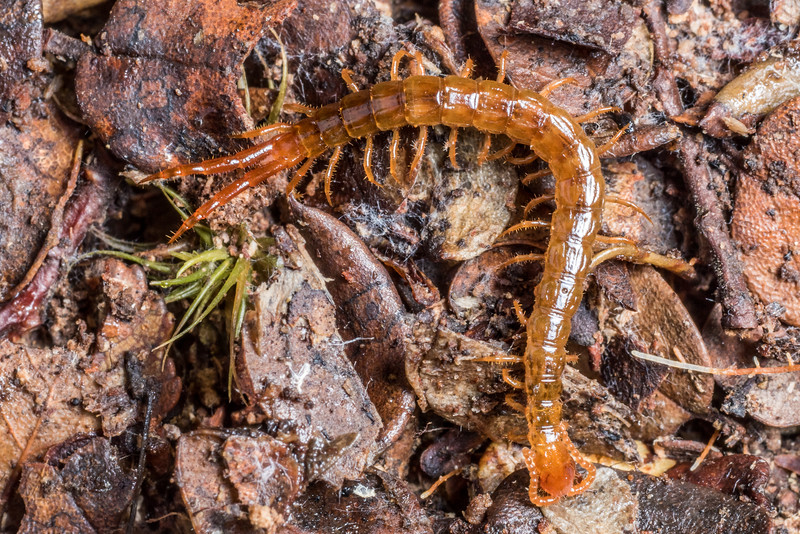 Centipede (Cryptops spp.). Flora Hut, Kahurangi National Park.