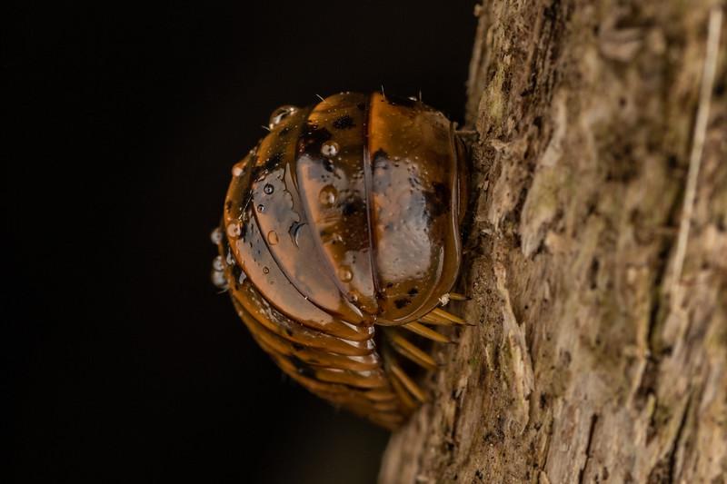 Giant pill millipede (Procyliosoma delacyi ssp. delacyi). Mahakirau, Coromandel.