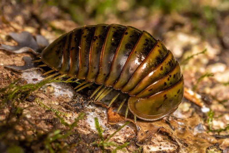 Giant pill millipede (Procyliosoma delacyi ssp. delacyi). Awatiro Farm, Waitomo.