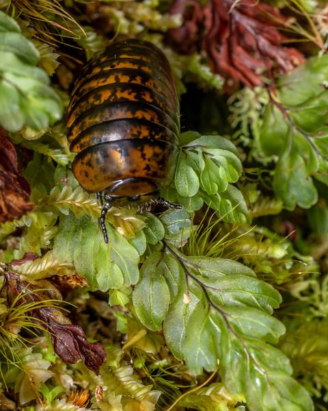 Giant pill millipede (Procyliosoma delacyi ssp. striolatum). Skippers Range, Fiordland National Park.