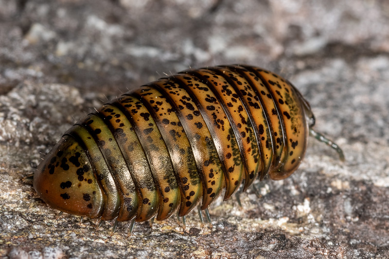 Giant pill millipede (Procyliosoma delacyi ssp. striolatum). Richmond Saddle. Richmond Range, Marlborough.