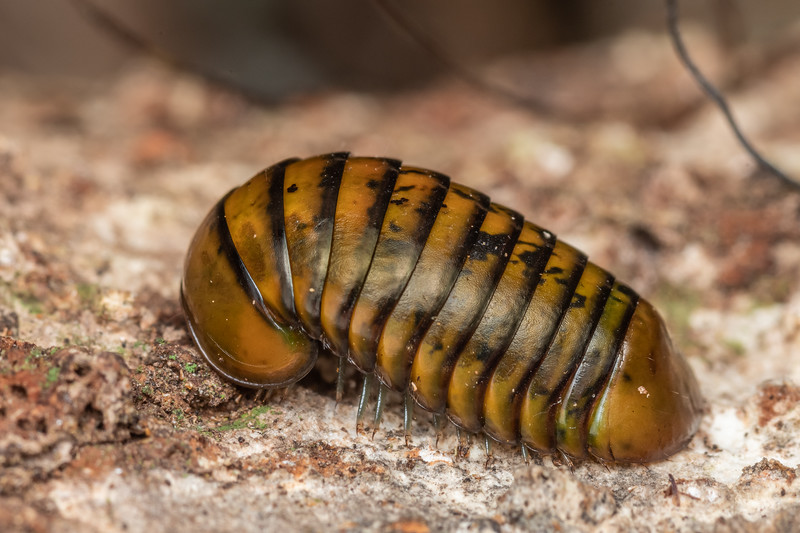Giant pill millipede (Procyliosoma delacyi ssp. striolatum). Smoothwater Bay, South Westland.