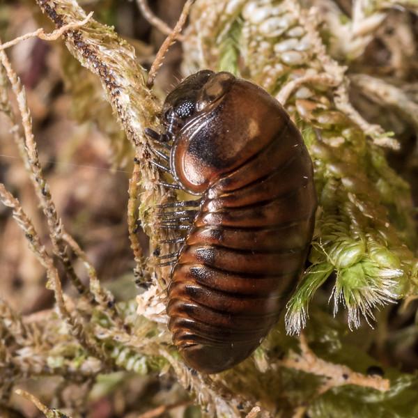 Giant pill millipede (Procyliosoma delacyi ssp. striolatum), uniform colour morph. Three Pointer, Heaphy Track, Kahurangi National Park.