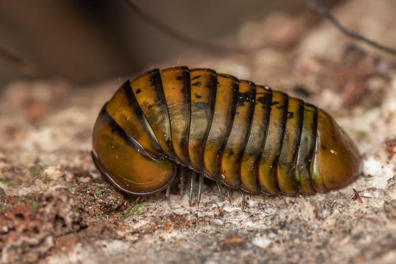 Giant pill millipede (Procyliosoma delacyi ssp. striolatum). Smoothwater Bay, South Westland.