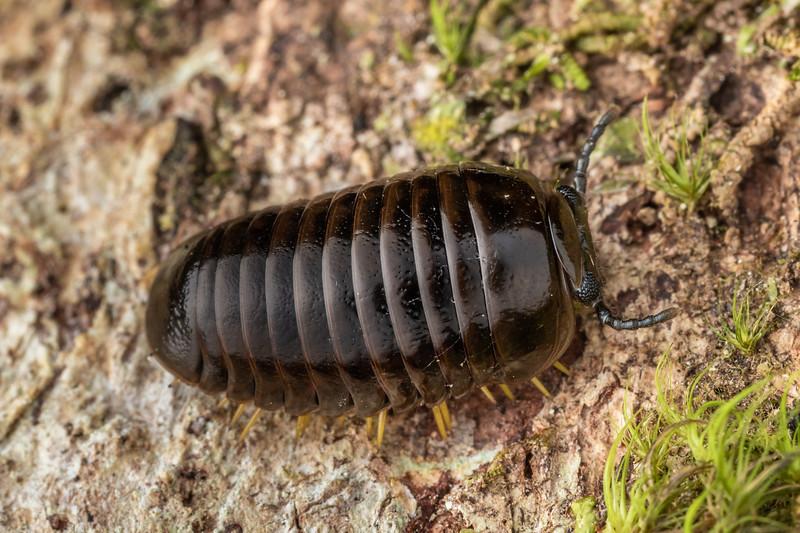 Giant pill millipede (Procyliosoma tuberculatum ssp. tuberculatum). Puketotara Hut, Matemateaonga Range.
