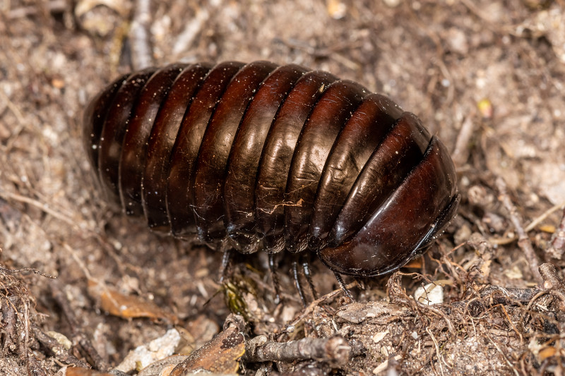 Giant pill millipede (Procyliosoma tuberculatum ssp. tuberculatum). Richmond Saddle. Richmond Range, Marlborough.