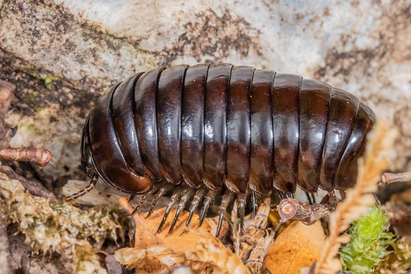 Giant pill millipede (Procyliosoma tuberculatum ssp. tuberculatum). Bulmer Creek, Mt Owen, Kahurangi National Park.
