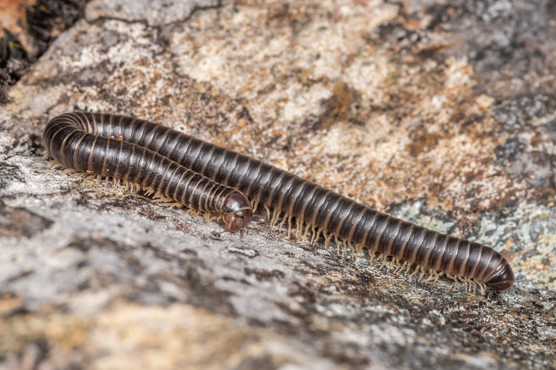 Millipede (Family Cambalidae). Richmond Saddle.  Richmond Range, Marlborough.