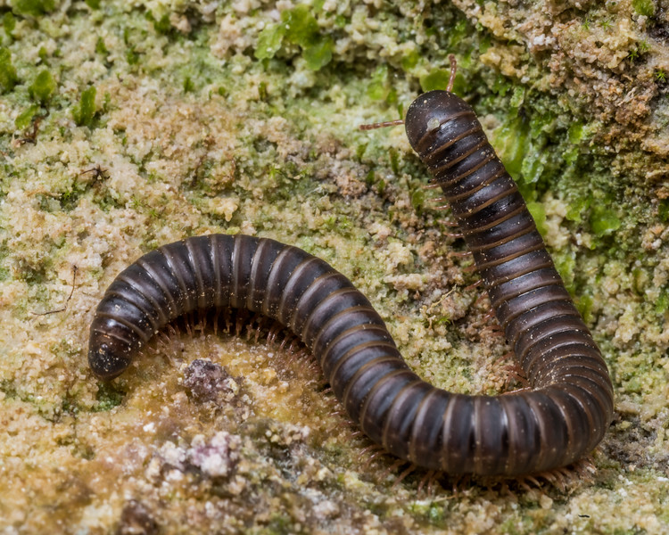 Millipede (Family Cambalidae). Gouland Downs Caves, Heaphy Track, Kahurangi National Park.