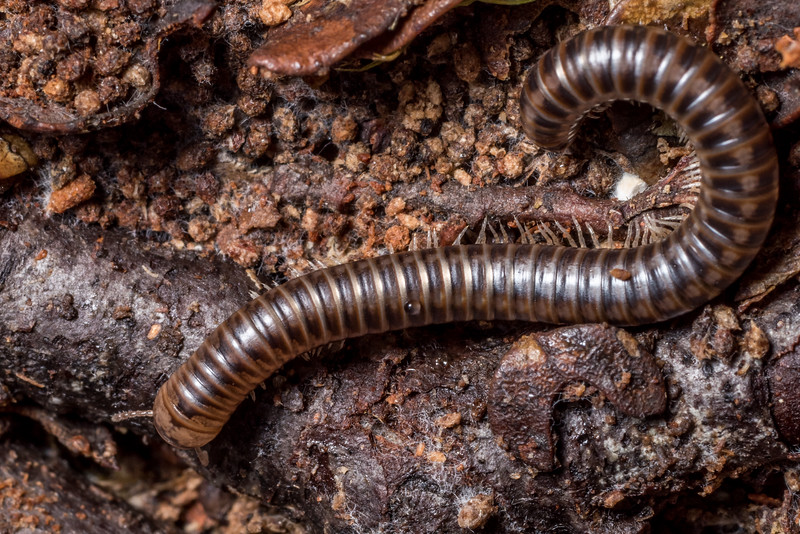 Millipede (Order Spirostreptida). Flora Hut, Kahurangi National Park.