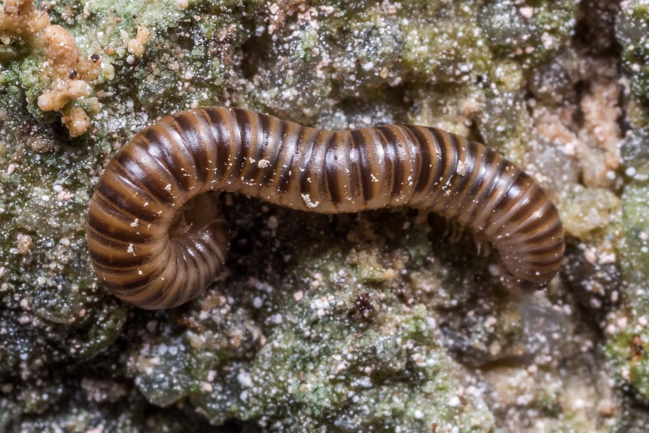 Millipede (Order Spirostreptida). Gouland Downs Caves, Heaphy Track, Kahurangi National Park.