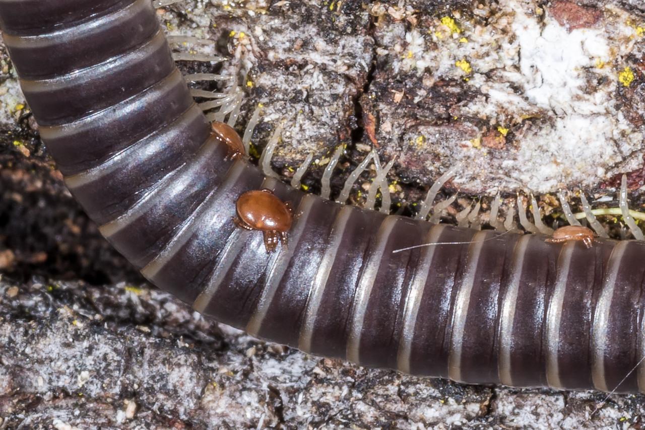 Millipede, order Spirostreptida. Sandy Bay, Lake Waikareiti, Te Urewera National Park.