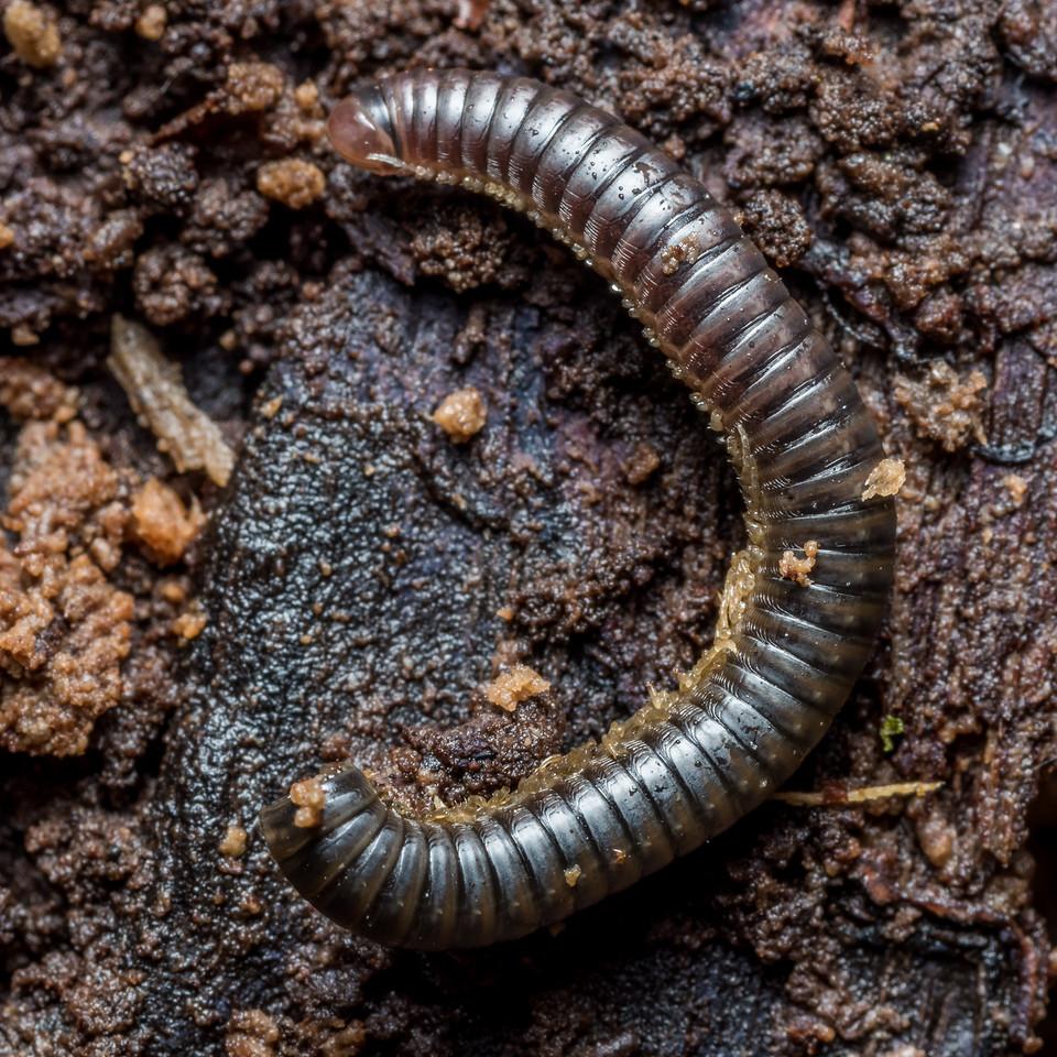 Millipede, order Spirostreptida - missing its head? But it was still moving. McLennan Hut, Catlins Forest.