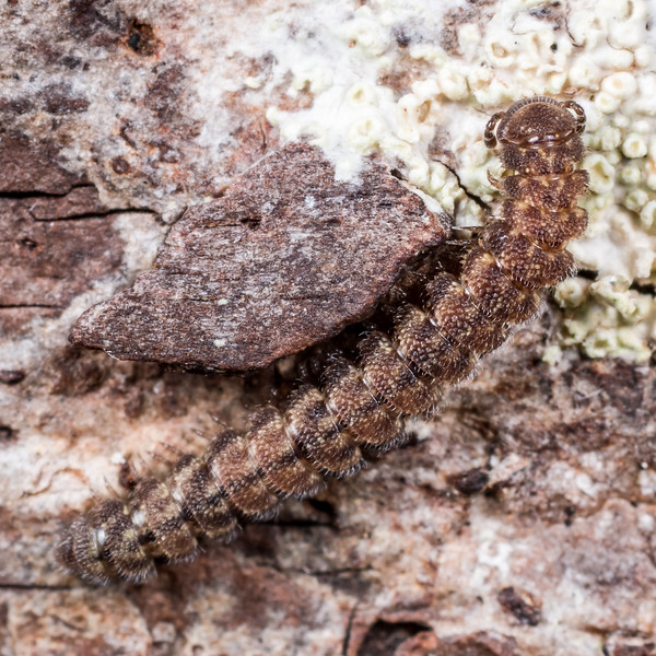 Millipede (Class Diplopoda), unidentified. Lake Monk, Fiordland National Park.