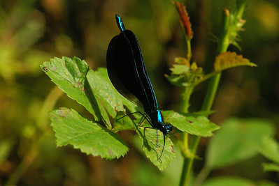 Ebony Jewelwing (male) Calopteryx maculata Family Calopterygidae Pocono Environmental Education Center, Dingman's Ferry, Pennsylvania 2 June 2012