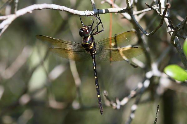 Royal River Cruiser Macromia taeniolata Family Macromiidae Lake Wales Ridge State Forest, Frostproof, Florida 27 September 2016