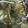 Royal River Cruiser<br> <i>Macromia taeniolata</i><br> Family <i>Macromiidae</i><br> Lake Wales Ridge State Forest, Frostproof, Florida<br> 27 September 2016