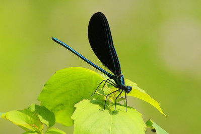 Ebony Jewelwing (male) Calopteryx maculata Family Calopterygidae Pocono Environmental Education Center, Dingman's Ferry, Pennsylvania 15 June 2012