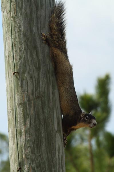 "Fox Squirrel<br> ""Sherman's"" subspecies<br> <i>Sciurus niger shermani</i><br> Family <i>Sciuridae</i><br> Avon Park Air Force Range, Avon Park, Florida<br> 26 March 2017"