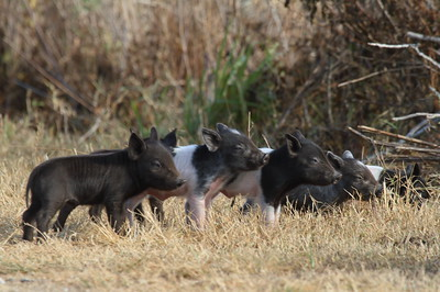Feral Hog (piglets) Sus scrofa Family Suidae Circle B Bar Reserve, Lakeland, Florida 22 January 2018