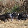 Feral Hog (piglets)<br> <i>Sus scrofa</i><br> Family <i>Suidae</i><br> Circle B Bar Reserve, Lakeland, Florida<br> 22 January 2018