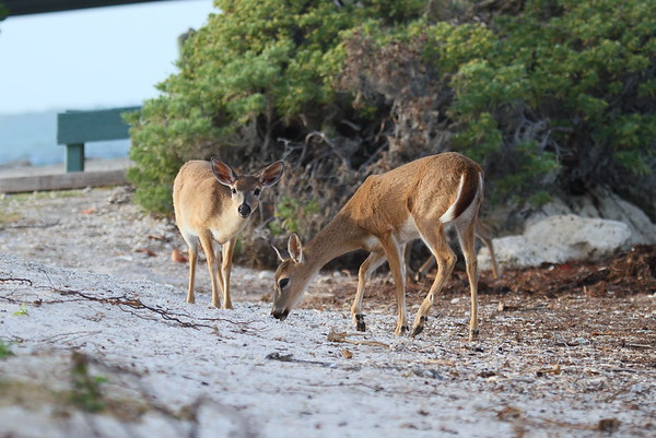 Key Deer Odocoileus virginianus clavium Family Cervidae National Key Deer Refuge, Big Pine Key, Florida 16 April 2017