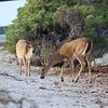 Key Deer<br> <i>Odocoileus virginianus clavium</i><br> Family <i>Cervidae</i><br> National Key Deer Refuge, Big Pine Key, Florida<br> 16 April 2017