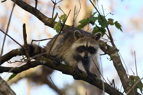 Raccoon Procyon lotor Family Procyonidae Audubon Corkscrew Swamp Sanctuary, Naples, Florida 29 December 2020