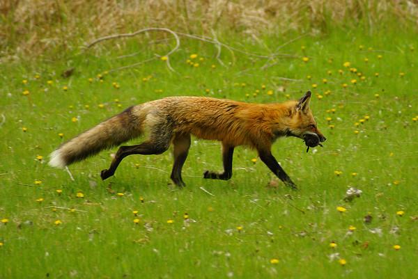 Red Fox Vulpes vulpes Family Canidae Presqu'ile Provincial Park, Brighton, Ontario 25 April 2012