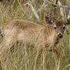 Key Deer<br> <i>Odocoileus virginianus clavium</i><br> Family <i>Cervidae</i><br> National Key Deer Refuge, Big Pine Key, Florida<br> 17 April 2017