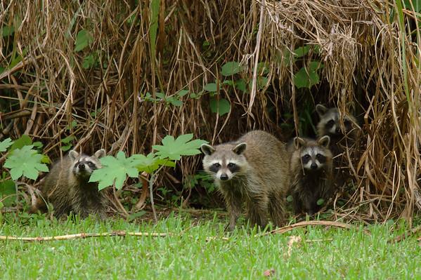 Raccoon Procyon lotor Family Procyonidae Lake Parker, Lakeland, Florida 11 October 2016