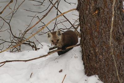 Pine Marten Martes americana Family Mustelidae Spruce Bog, Algonquin Provincial Park, Ontario 26 February 2012