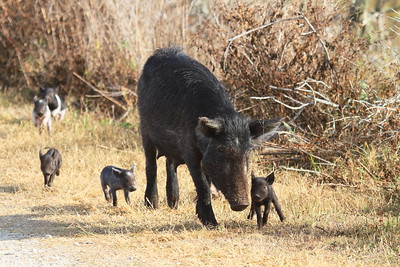 Feral Hog (sow & piglets) Sus scrofa Family Suidae Circle B Bar Reserve, Lakeland, Florida 22 January 2018