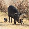 Feral Hog (sow & piglets)<br> <i>Sus scrofa</i><br> Family <i>Suidae</i><br> Circle B Bar Reserve, Lakeland, Florida<br> 22 January 2018