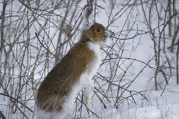 Snowshoe Hare Lepus americanus Family Leporidae Shirley's Bay, Ottawa, Ontario 26 December 2010